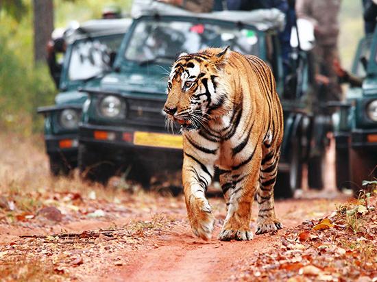 Сафари по джунглям Индии