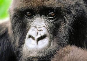 В гости к горным горилам