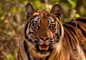 Тадж, тигры и традиции <br /> (VIP путешествие) <br /> 8 дней/7 ночей