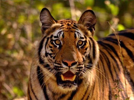 Тадж, тигры и традиции