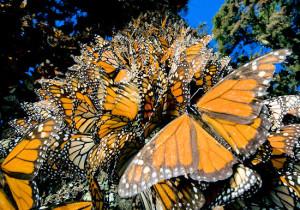 Миграция бабочек монарх <br /> (Индивиуальный тур)  <br />  4 дня/3 ночи