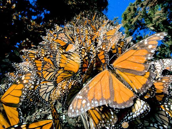 Миграция бабочек монарх